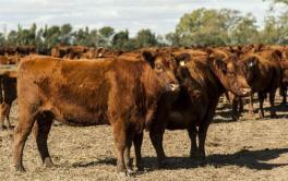 (Español) Rompen récords: los Sellares triplican la producción de carne con el pastoreo intensivo