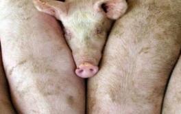 (Español) Primeros resultados de las acciones de fortalecimiento de la actividad porcina