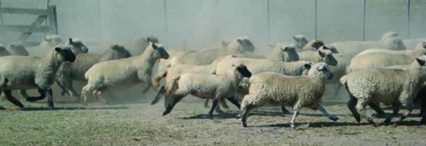 Inseminación artificial en ovejas