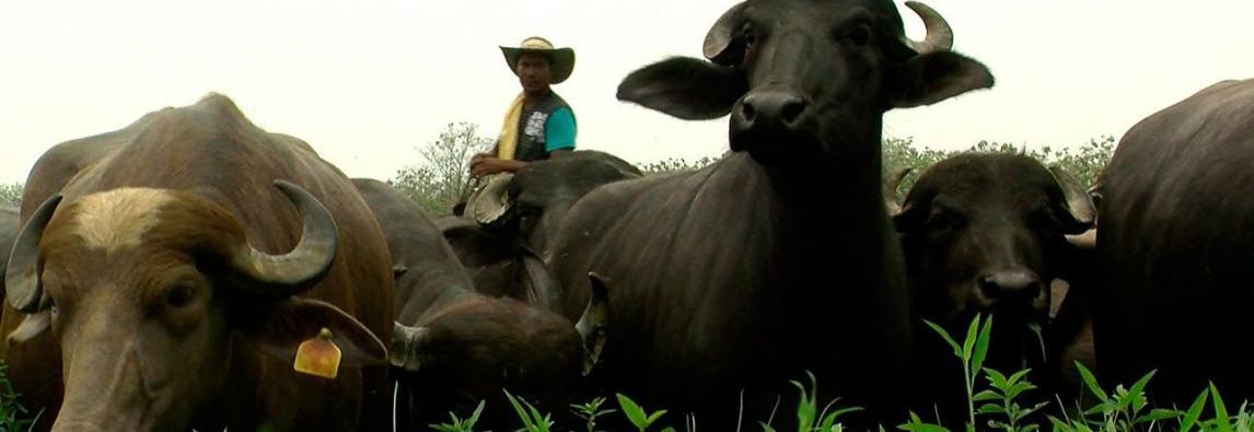 Ganadería bufalina, una actividad cada vez más popular en el mundo