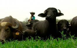 (Español) Ganadería bufalina, una actividad cada vez más popular en el mundo