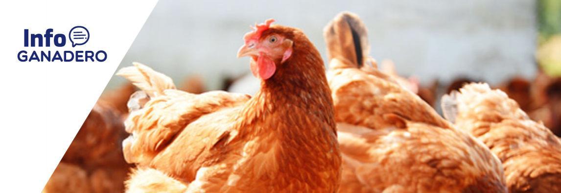 Aves: medidas para evitar el estrés por calor que mejoran la calidad de los huevos