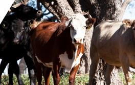 (Español) Detectan un caso de vaca loca en Suiza: por qué no impacta en Argentina