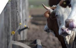 (Español) En nueve años, se duplicó la producción de carne bovina en Mendoza