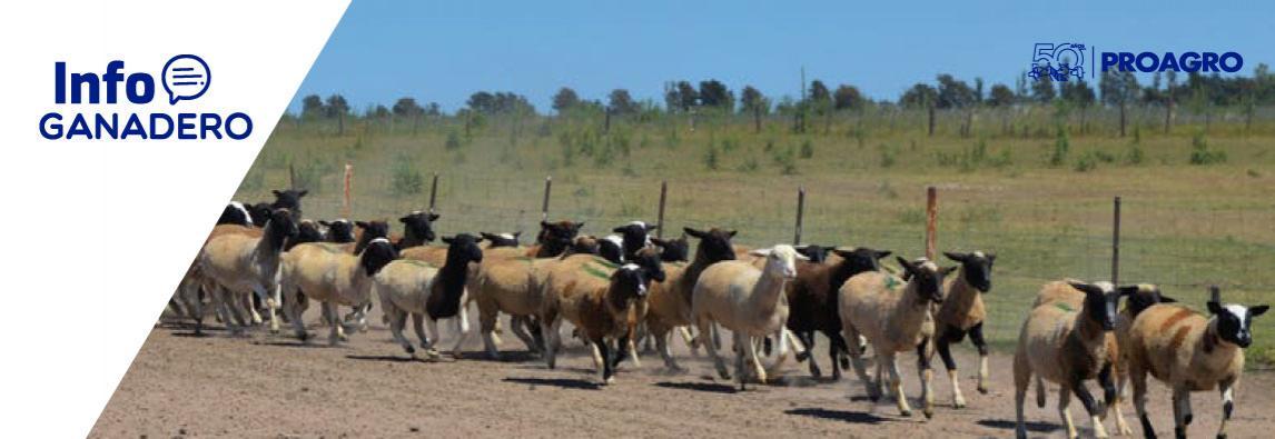 (Español) Carne ovina: el modelo que nace en el campo y quiere conquistar al consumidor