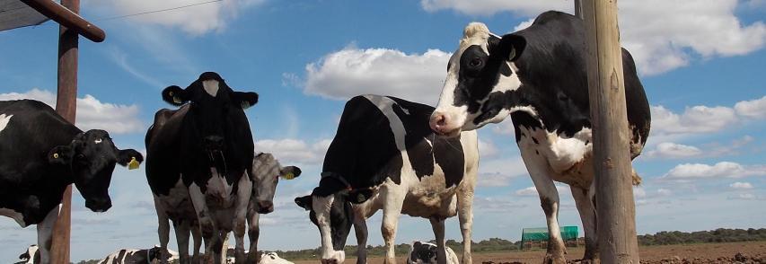 (Español) Tambos: refrescadas con aspersores y ventiladores, las vacas producen 15% más