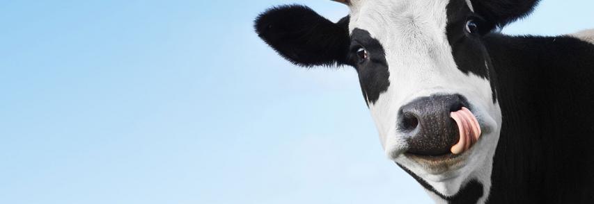 """Descubrieron el verdadero origen de """"la enfermedad de las vacas locas"""""""