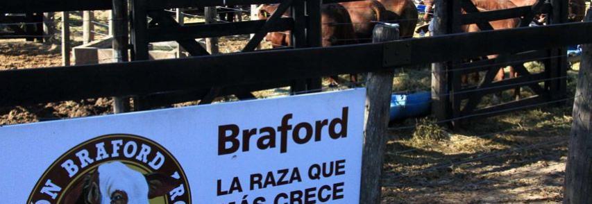 (Español) Presenciamos la XVI Exposición Nacional Braford