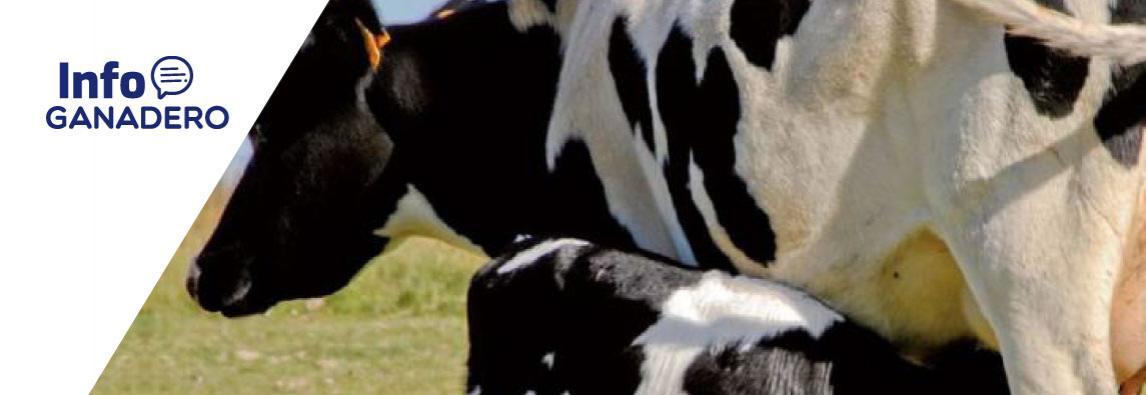 """(Español) Crían terneros amamantados con vacas sustitutas: """"Es un sistema instintivo"""""""